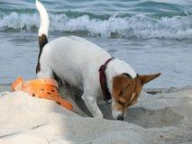 Chien de Jack Russell Terrier jouant avec la chaussure photographie stock