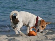 Chien de Jack Russell Terrier jouant avec la chaussure photos libres de droits