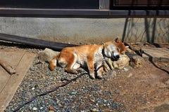Chien de Japonais d'inu de Shiba image libre de droits