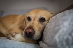 Chien de Labrador à Milan Photos libres de droits