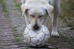 Chien de Labrador avec la boule Photo stock