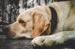 Chien de Labrador avec la couleur blanche brunâtre image stock