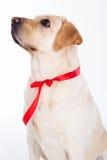 Chien de Labrador avec le ruban rouge dans le studio d'isolement sur le blanc Photo stock