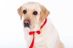 Chien de Labrador avec le ruban rouge dans le studio d'isolement sur le blanc Images stock