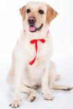 Chien de Labrador avec le ruban rouge dans le studio d'isolement sur le blanc Photographie stock libre de droits