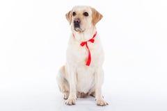 Chien de Labrador avec le ruban rouge dans le studio d'isolement sur le blanc Images libres de droits