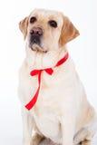 Chien de Labrador avec le ruban rouge dans le studio d'isolement sur le blanc Image stock