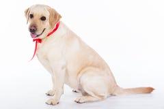 Chien de Labrador avec le ruban rouge dans le studio d'isolement sur le blanc Photo libre de droits