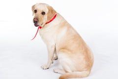 Chien de Labrador avec le ruban rouge dans le studio sur le blanc Images libres de droits