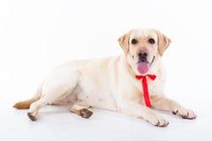 Chien de Labrador avec le ruban rouge dans le studio sur le blanc Image libre de droits