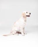 Chien de Labrador de golden retriever Photo stock