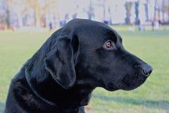 Chien de Labrador de profil Photos libres de droits