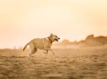 Chien de Labrador fonctionnant sur la plage Image stock