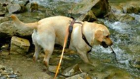 Chien de Labrador jouant en rivière banque de vidéos