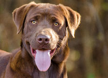 Chien de labrador retriever de chocolat image stock