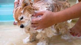 Chien de lavage, Pomeranian, avec de l'eau le shampooing et banque de vidéos