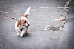 Chien de Leashed sur une promenade Photo libre de droits