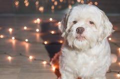 Chien de Lhasa Apso avec des lumières de Noël sur le fond Photos libres de droits