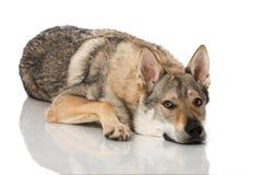 Chien de loup images libres de droits