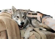 Chien de loup dans son chairm Photographie stock