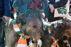 Chien de chien-loup irlandais et son propriétaire à la célébration de jour du ` s de St Patrick à Moscou Photos stock