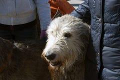 Chien de chien-loup irlandais et son propriétaire à la célébration de jour du ` s de St Patrick à Moscou Photographie stock libre de droits