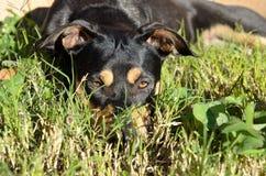 Chien de mélange de berger allemand de rottweiler s'étendant sur l'herbe au soleil Photos stock