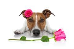 Chien de malade d'amour de valentines Images stock