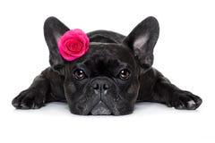 Chien de malade d'amour de valentines Photographie stock