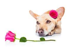 Chien de malade d'amour de valentines Image libre de droits