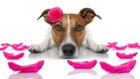 Chien de malade d'amour de valentines Photo libre de droits