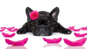 Chien de malade d'amour de valentines Image stock