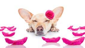 Chien de malade d'amour de valentines Photo stock