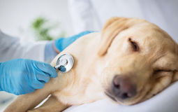 Chien de malade d'examen de vétérinaire Images libres de droits