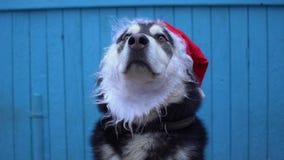 Chien de Malamute d'Alaska dans le chapeau du ` s de Santa sur un fond en bois bleu de mur de maison Photographie stock