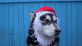 Chien de Malamute d'Alaska dans le chapeau du ` s de Santa sur un fond en bois bleu de mur de maison Image libre de droits