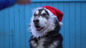 Chien de Malamute d'Alaska dans le chapeau du ` s de Santa sur un fond en bois bleu de mur de maison Image stock