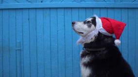 Chien de Malamute d'Alaska dans le chapeau du ` s de Santa sur un fond en bois bleu de mur de maison en hiver Photographie stock