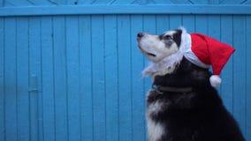 Chien de Malamute d'Alaska dans le chapeau du ` s de Santa sur un fond en bois bleu de mur de maison en hiver Image libre de droits