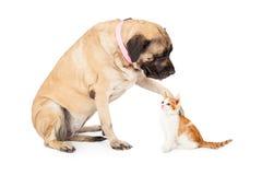 Chien de mastiff jouant avec le chaton Image stock