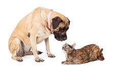Chien de mastiff regardant vers le bas le chat adulte Images libres de droits