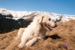 Chien de montagne Photos libres de droits