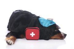 Chien de montagne de Bernese avec le kit de premiers secours Images stock