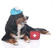 Chien de montagne de Bernese avec le kit de premiers secours Photographie stock