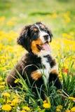 Chien de montagne de Bernese ou chiot de Berner Sennenhund Photos libres de droits