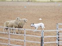 Chien de moutons Images libres de droits