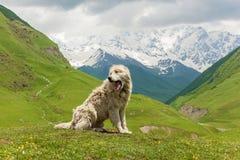 Chien de moutons caucasien pour la garde des bétail photographie stock libre de droits