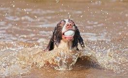 Chien de natation Photo libre de droits