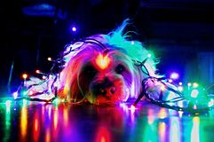 Chien de Noël heureux et lumières colorées photos libres de droits