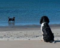 Chien de observation de baigneur de chien Photos libres de droits